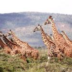 """La descrizione di un animale: """"La giraffa"""" – Analisi e comprensione del testo"""